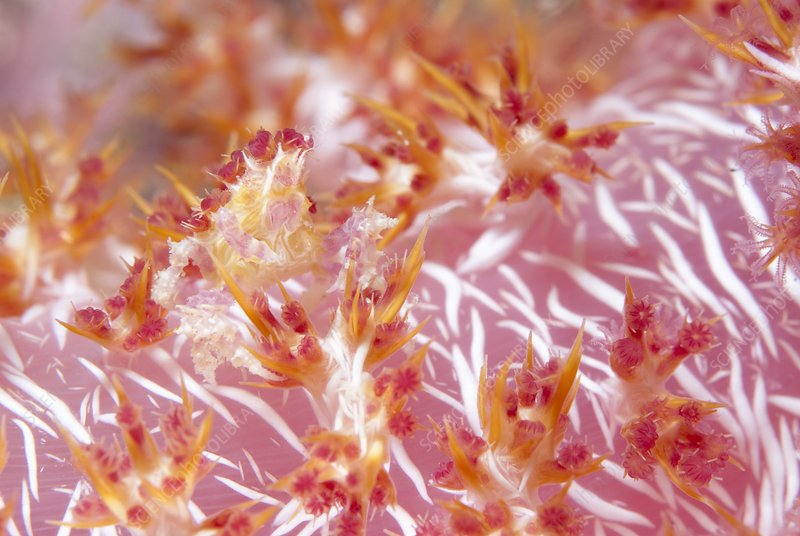 Soft coral crab hidden on soft coral