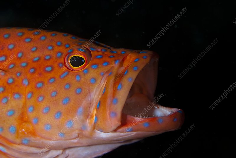 Coral gouper with shrimp in mouth