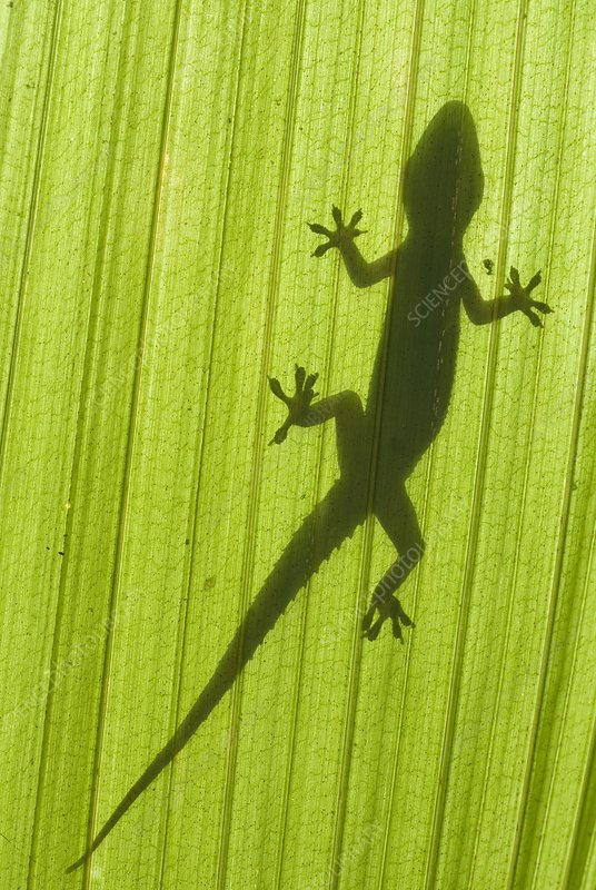 Silhouette of a gecko on a palm frond.