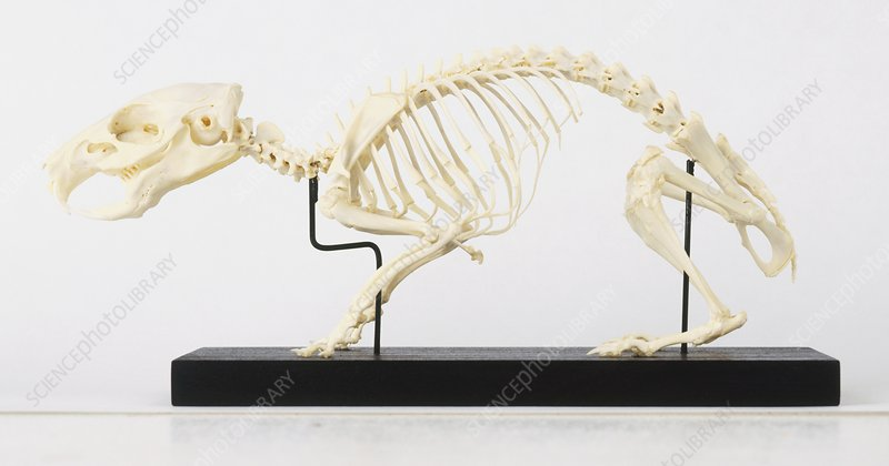 Skeleton of Guinea Pig