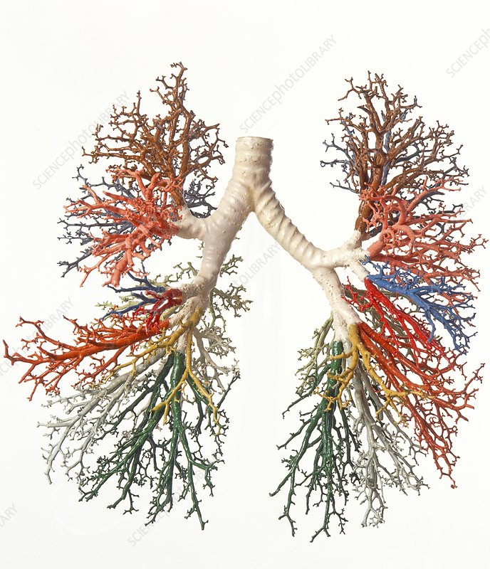 Model of branches of bronchial tree