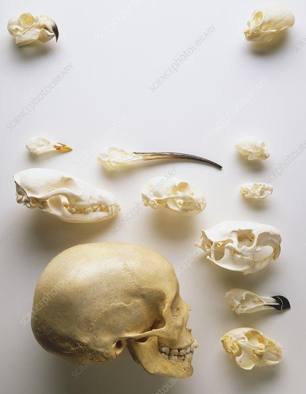 Human skull and animal skulls