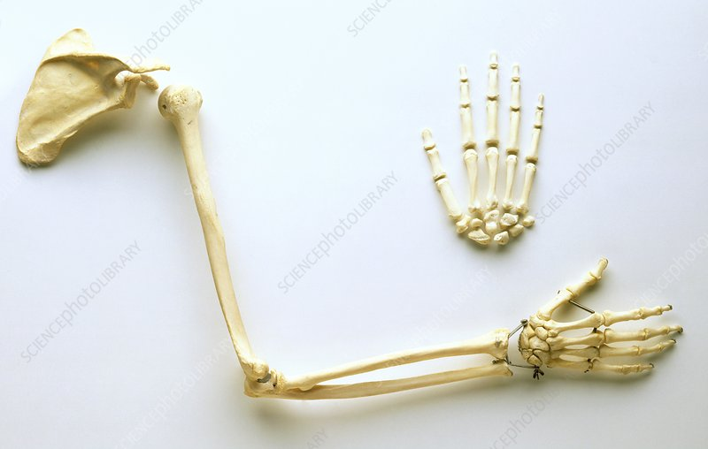 Human arm bones, shoulder blade