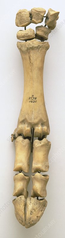 Ox skeleton, part of forelimb