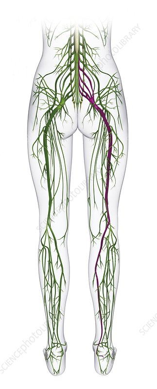 Human nervous system from spine to foot