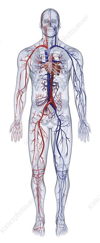 Cardiovascular system of the human body