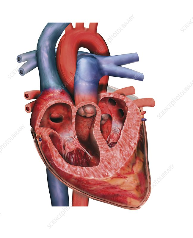 Human heart, cross-section
