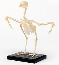 Kestrel skeleton with wings out to sides
