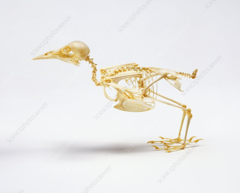 Skeleton of a Starling