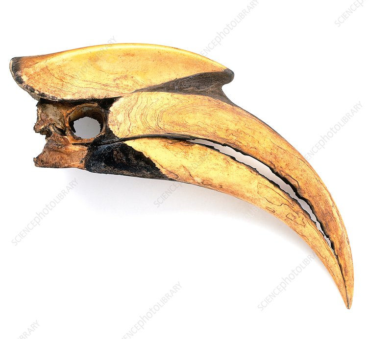 Beak of Great hornbill (Buceros bicornis)