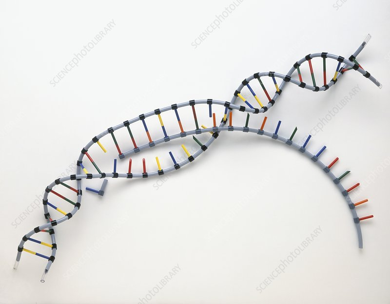 Model of two strands of DNA