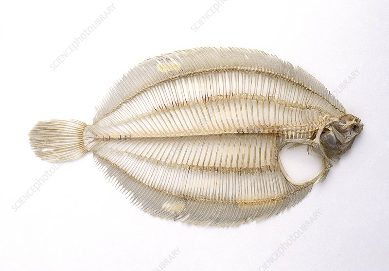 Skeleton of a lemon sole fish, side view