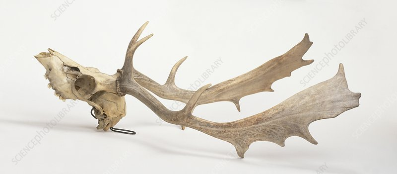 Skull and antlers of Fallow deer