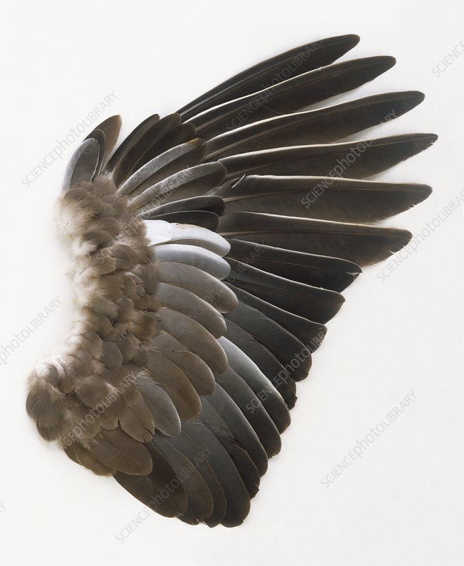 Pigeon wing showing overlapping feathers