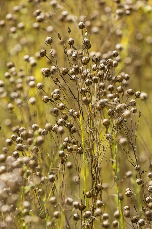 Flax seed pods - Stock Image C019/9200 - Science Photo Library