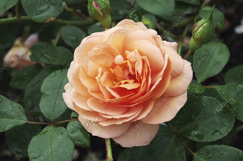 Rose Louise Clements (Rosa 'Clelou')