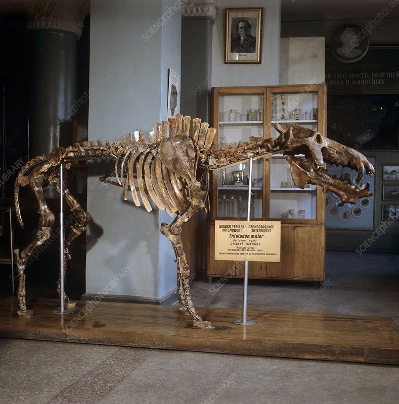 http://www.sciencephoto.com/image/578455/large/C0199528-Entelodon_fossil_skeleton-SPL.jpg