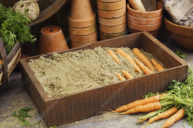 Storing carrots in damp sand