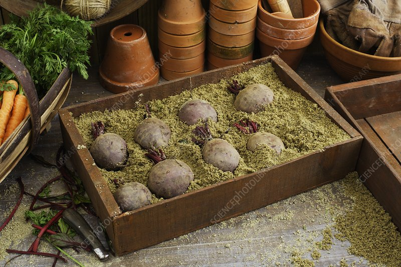 Storing beetroots in damp sand