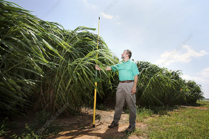 Napier grass biofuel research