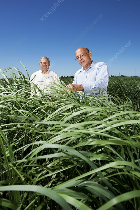 Switchgrass crop research