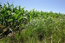 Switchgrass and maize crop study