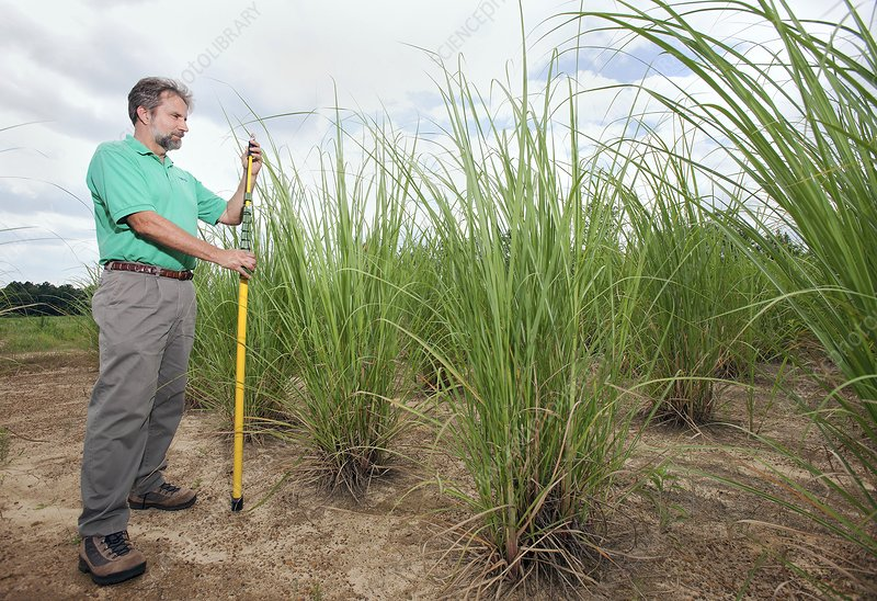 Energy cane biofuel research