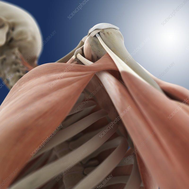 Shoulder anatomy, artwork