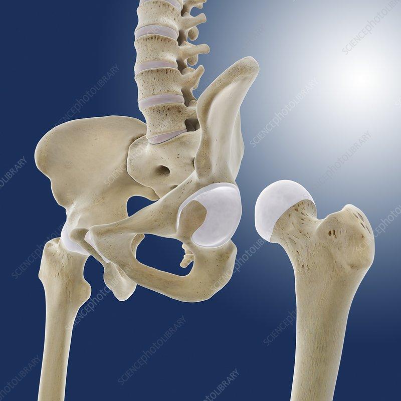 Hip Anatomy Artwork Stock Image C0200131 Science Photo Library