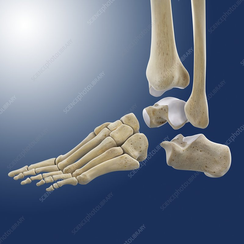Ankle Joint Anatomy Artwork Stock Image C0200139 Science