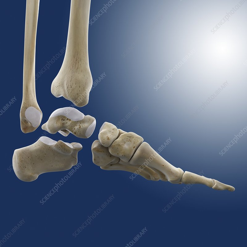 Ankle Joint Anatomy Artwork Stock Image C0200140 Science