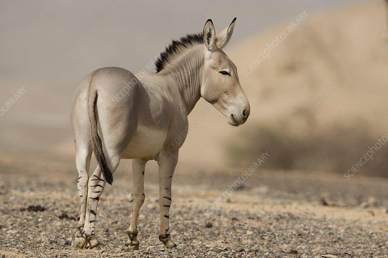 African wild ass (Equus africanus)