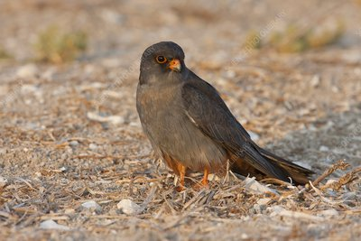 Red footed falcon (falco vespertinus)