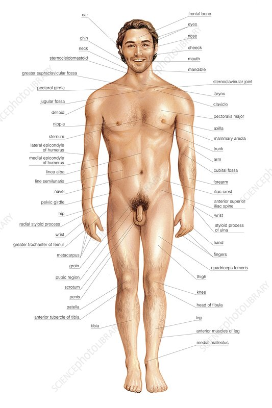 Male Superficial Anatomy Anterior View Stock Image C0200201