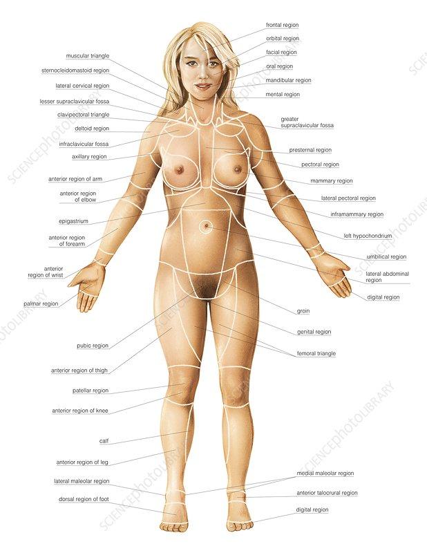 Female regions of anatomy, anterior view - Stock Image C020/0205 ...