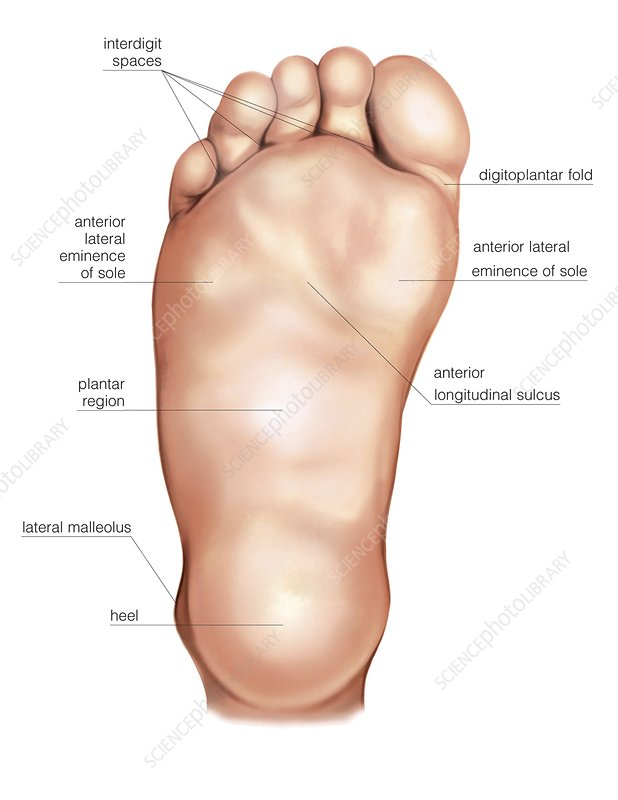 Anatomy Regions Of The Right Foot - Stock Image