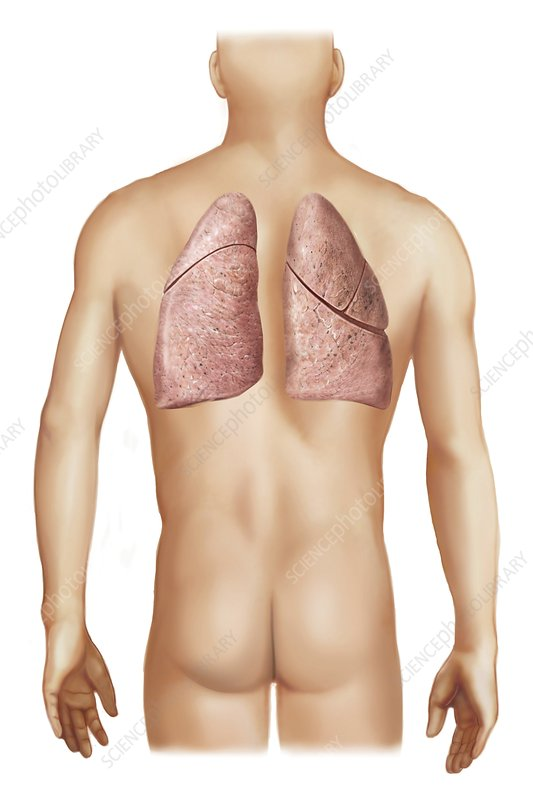 External projection of the lungs