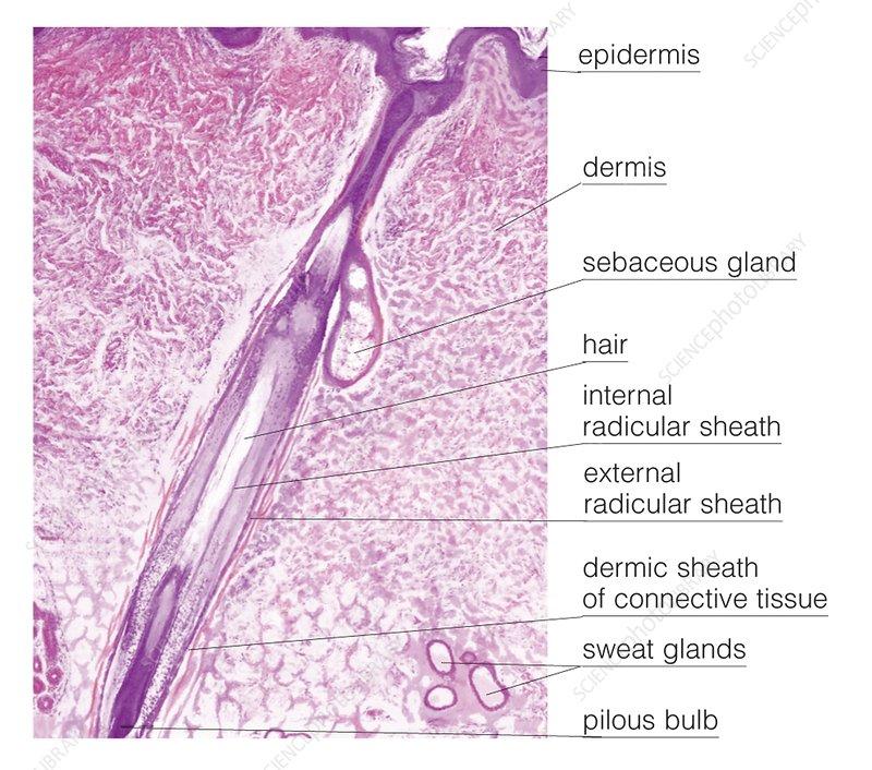 Histologic Image Of The Hair Follicle