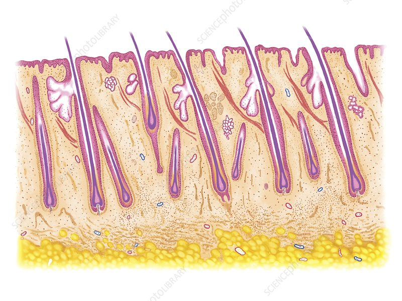 Longitudinal section of the scalp
