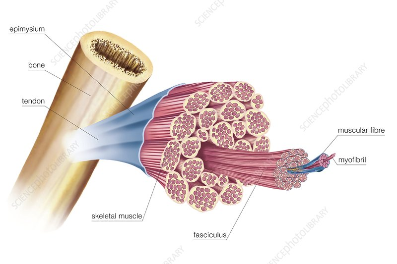 General structure of skeletal muscle