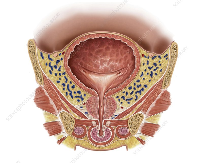 Prostate and urinary bladder