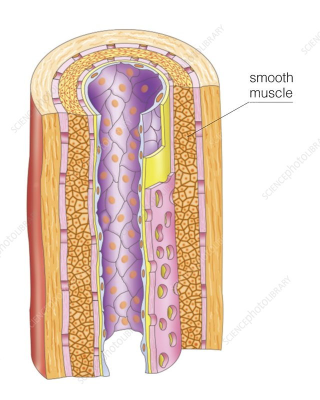 Smooth muscle in artery