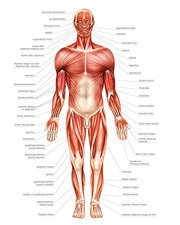 General view of muscular system