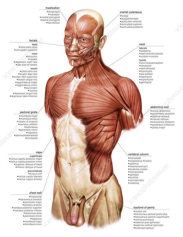 Head and Trunk muscular groups