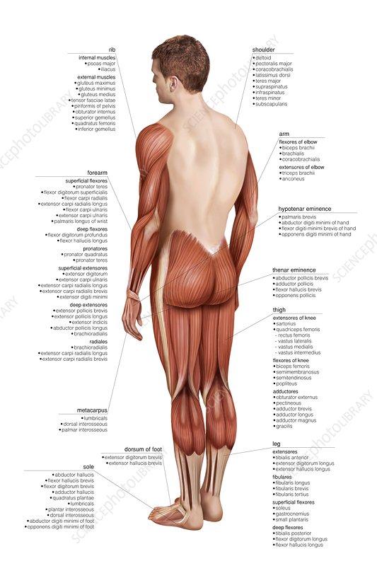 Limbs muscular groups