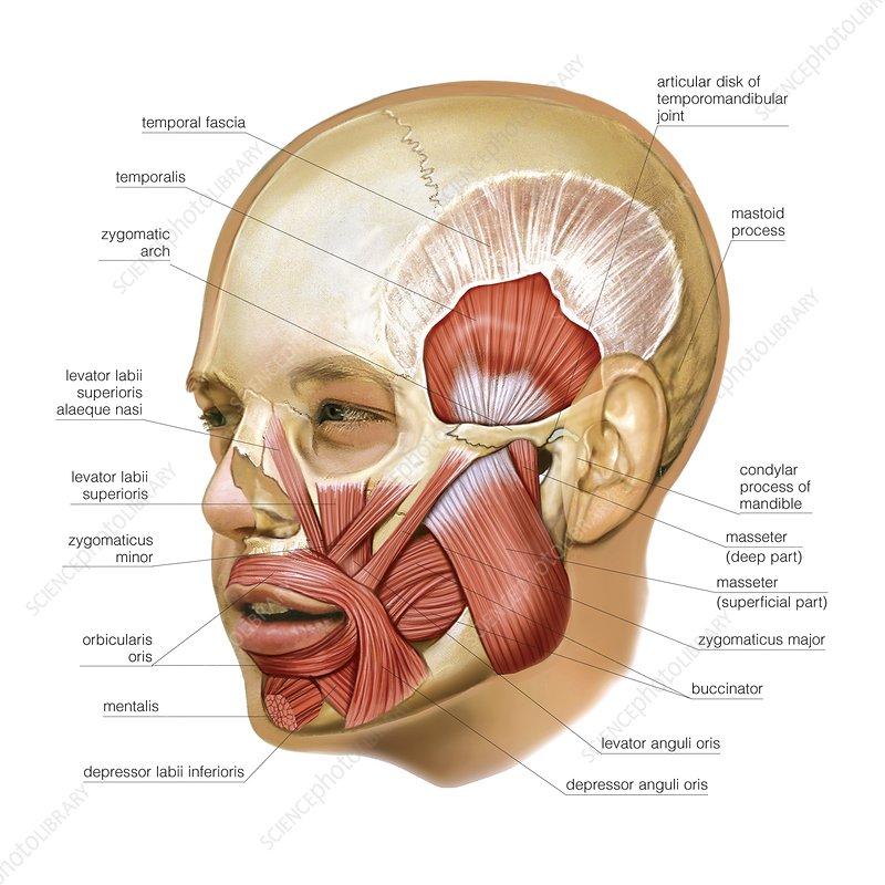 Masticatory muscles