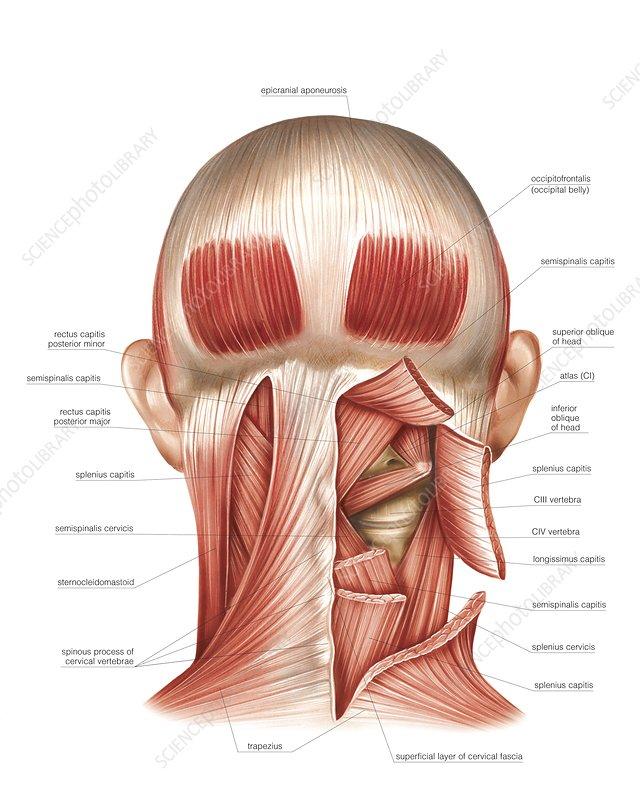 C Nape Muscles Spl