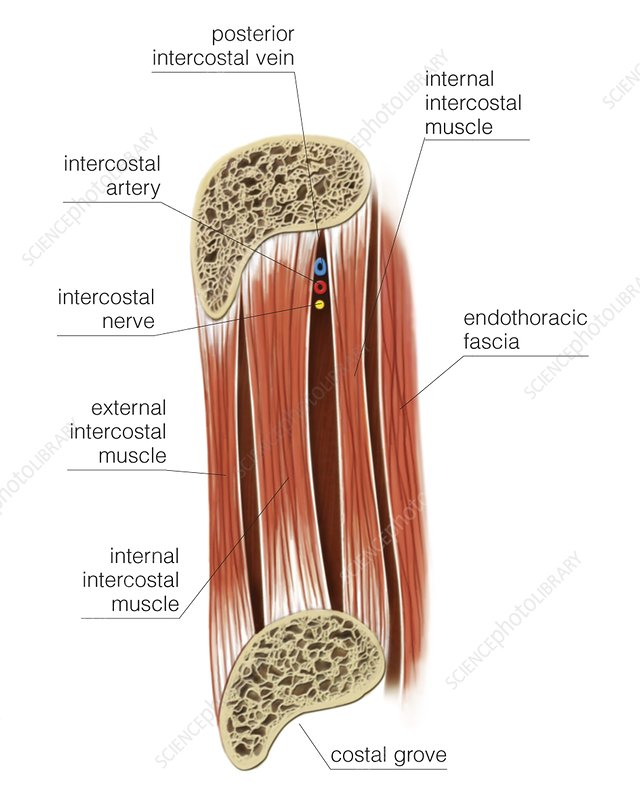 Muscles of thoracic wall