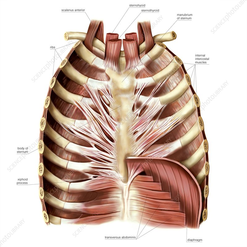 Muscles of anterior thoracic wall - Stock Image C020/0416 - Science ...