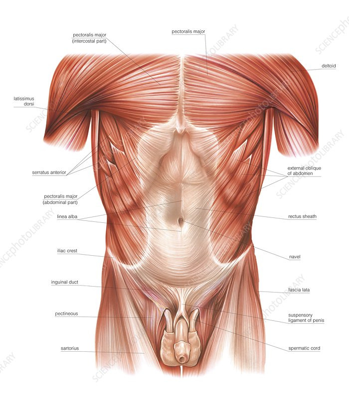 Muscles of trunk and abdomen